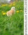 Little chicken 24951303