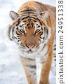 Tiger 24951338