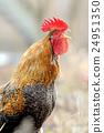 bird, chicken, rooster 24951350