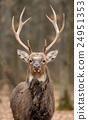 Deer 24951353