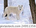 Wolf 24951356