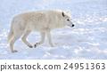 Wolf 24951363