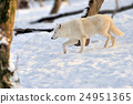 Wolf 24951365