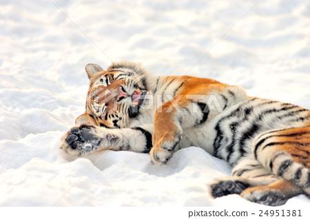 Tiger 24951381