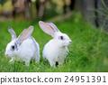 Rabbit 24951391