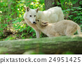White wolf in forest 24951425