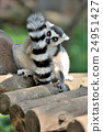 Young ring-tailed lemur 24951427