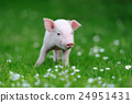 Young pig on grass 24951431