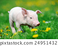 Young pig on grass 24951432