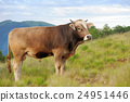 Cow on mountain pasture 24951446