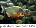 Tropical piranha fishes 24951454