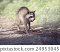 Wild Raccoon with a small turtle 24953045