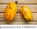 Ripe Indonesia's cocoa pod  setup on rustic wooden 24968401