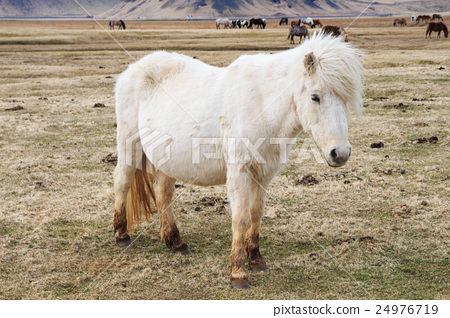 Horse in Iceland 24976719