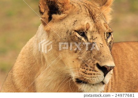 Young male lion zoom (Kenya) 24977681