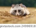 Adorable raccoon dog 24996918