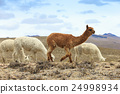 lamas in Andes,Mountains, Peru 24998934
