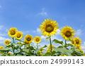 ひまわり畑 24999143