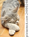 American Short Hair Blue Tabby Amezo 24999248