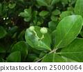 Masaki fruit that is still immature 25000064