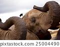 elephant, elephants, african 25004490