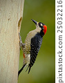 Black-cheeked Woodpecker, sitting on the branch 25032216