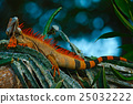 Green iguana, Iguana iguana, portrait of lizard 25032222