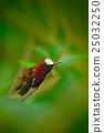 Snowcap, Microchera albocoronata, rare hummingbird 25032250