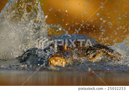 Crocodile Yacare Caiman, in the water with  25032253