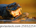animal, crocodile, alligator 25032254