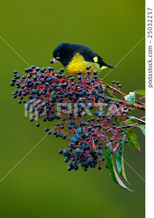 Yellow-bellied Siskin, Carduelis xanthogastra 25032257