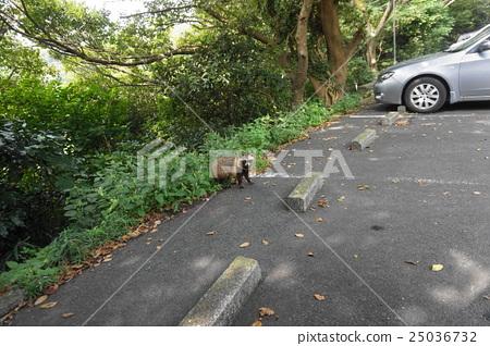 raccoon dog, wild, wildness 25036732