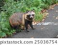 Wild raccoon dumpling 25036754