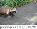 Wild raccoon dumpling 25036795