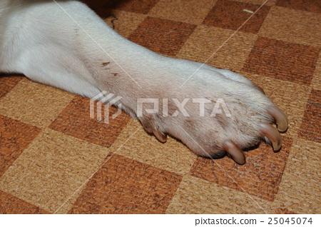 피부에 곰팡이를 앓고 개 질병의 개 개 손 피부병 Sick dog Skin disease 25045074