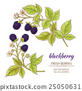 blackberry, vector, illustration 25050631