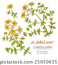 St. John's wort vector set 25050635