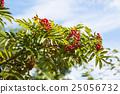 红 火棘 水果 25056732