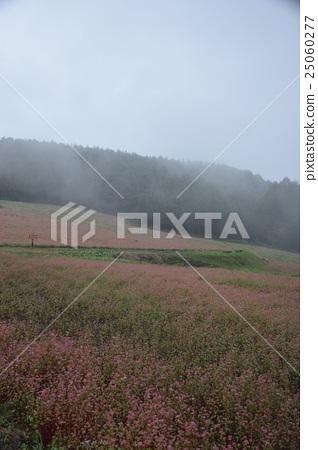 Nagano Mist 's Red Soba no Sato Takamine Ruby Pink Red Buckwheat Field 25060277
