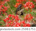 swallowtail, swallowtail butterfly, butterfly 25061751