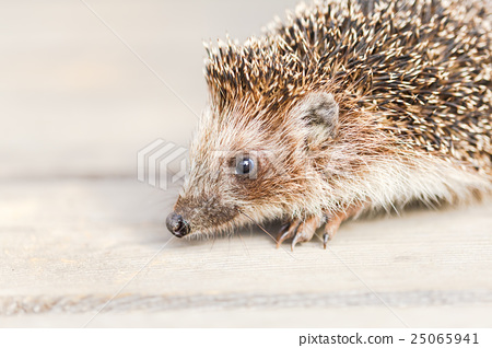 Cute Funny Lovely Hedgehog Standing On Wooden 25065941