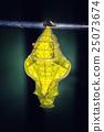 Butterfly Pupa, macro 25073674