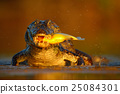 Caiman with evening orange sun, Yacare Caiman  25084301