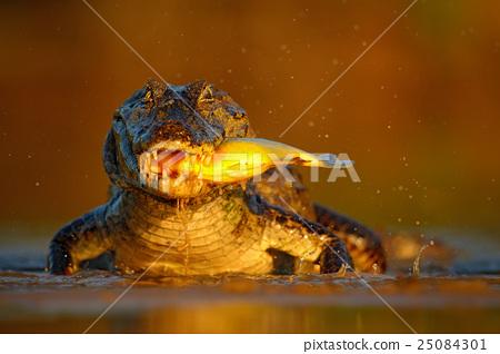Caiman with evening orange sun, Yacare Caiman  25084301