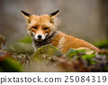 Cute Red Fox, Vulpes, animal at green forest 25084319