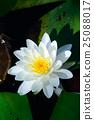 睡莲 花朵 花卉 25088017