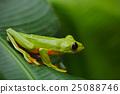 Flying Leaf Frog, Agalychnis spurrelli 25088746