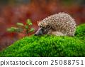 West European Hedgehog in green moss 25088751