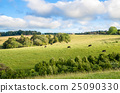 New Zealand peaceful farmland and grazing cows 25090330
