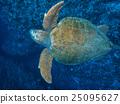 海龜 烏龜 紅海龜 25095627
